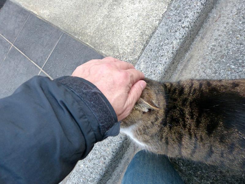 頭をグリグリされるキジトラ猫2