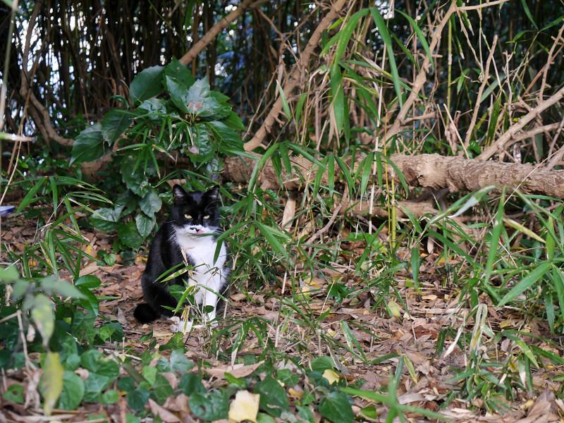 雑木林の黒白猫2