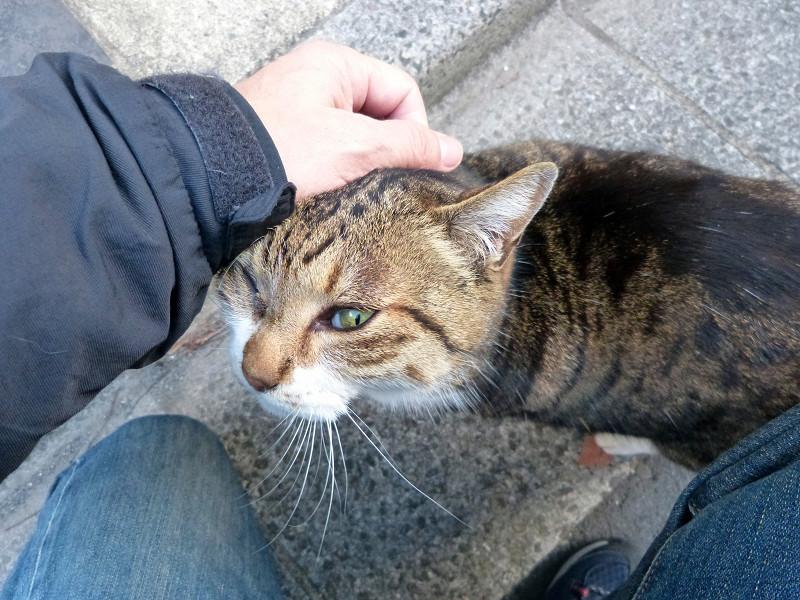 頭をグリグリされるキジトラ猫3