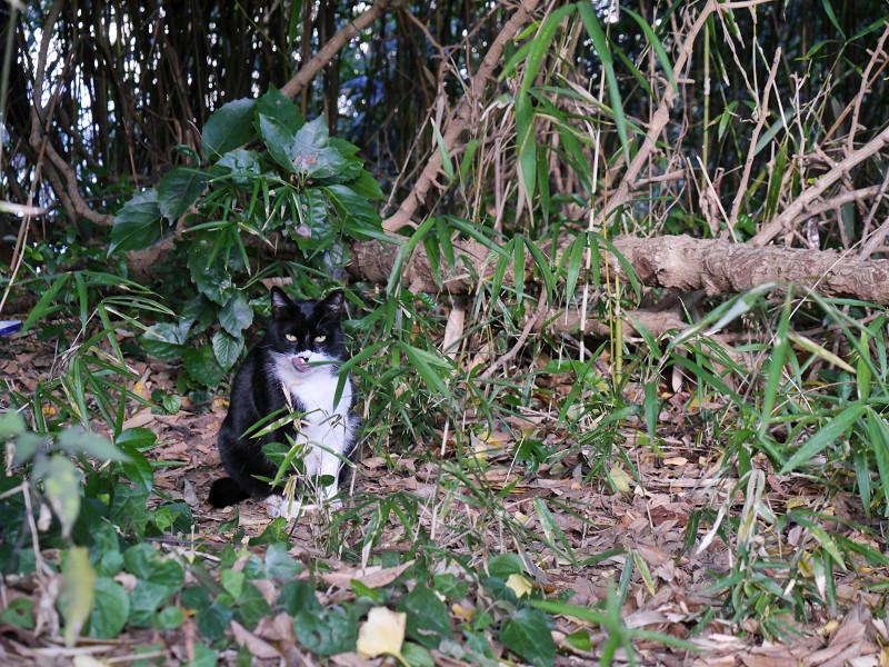 雑木林の黒白猫3