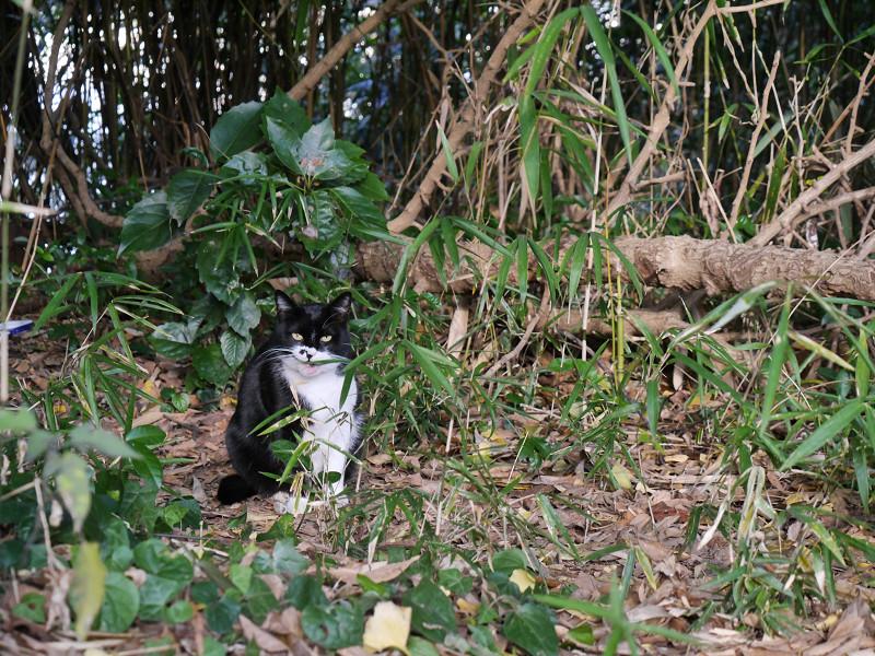 雑木林の黒白猫4