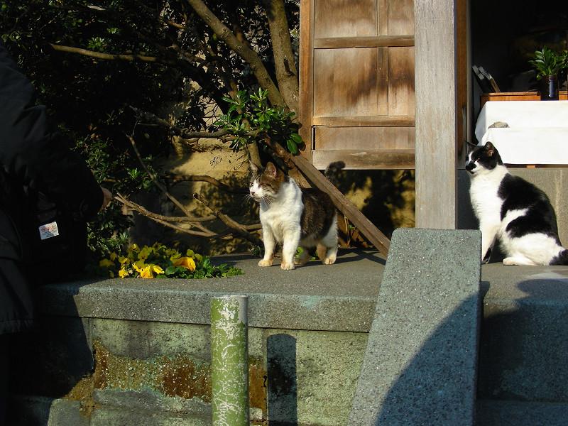 祠から出て来たキジ白猫1
