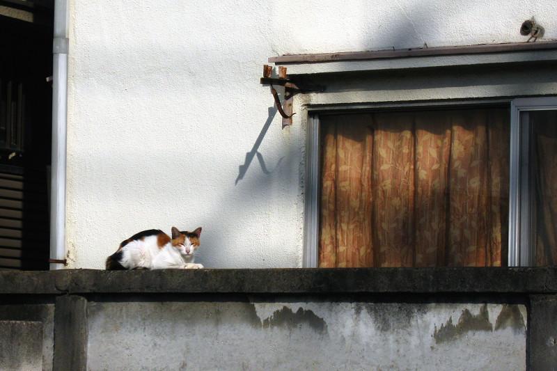 アパートのブロック塀の三毛猫1
