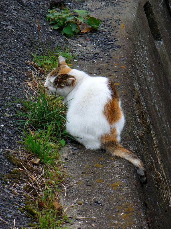 川の横で草を食う猫1