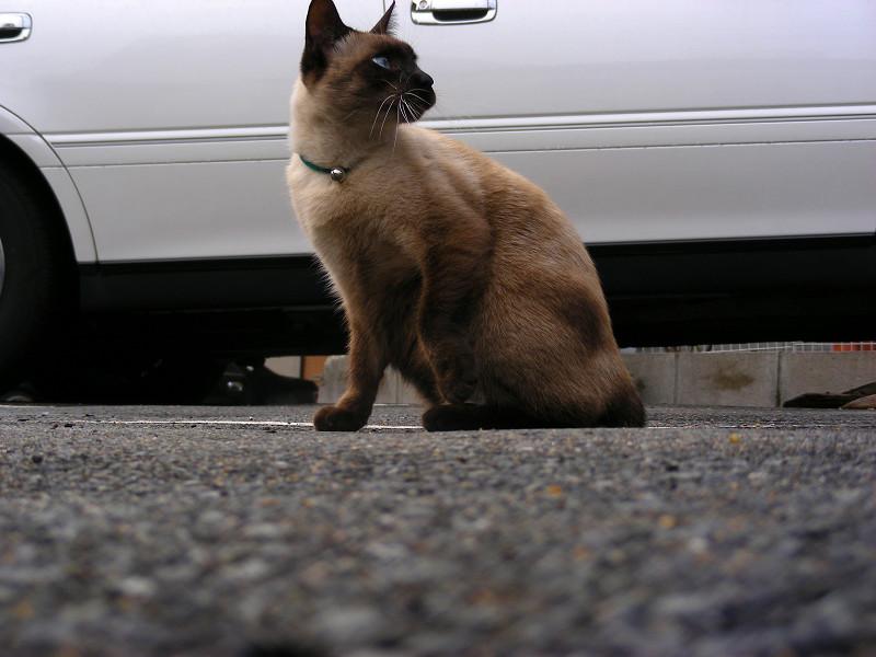 近寄ってきた洋風の猫2