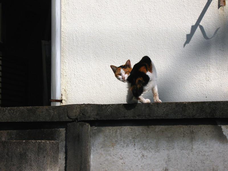 アパートのブロック塀の三毛猫2