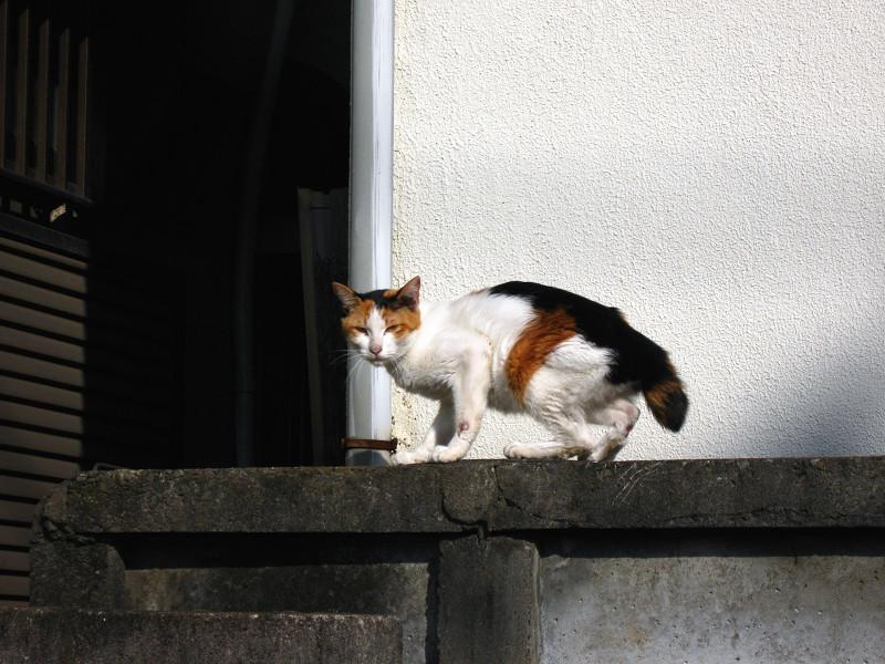 アパートのブロック塀の三毛猫3