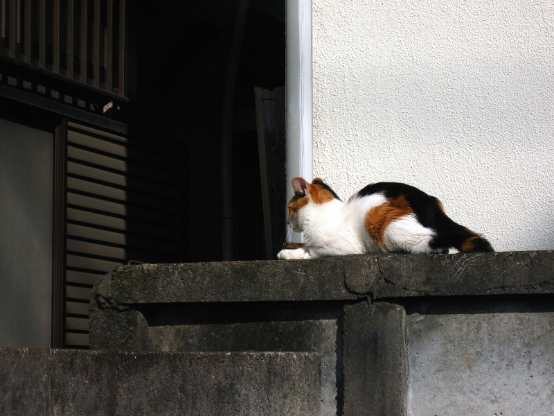アパートのブロック塀の三毛猫4