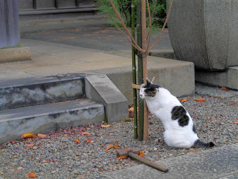 コスコスする白キジ猫1