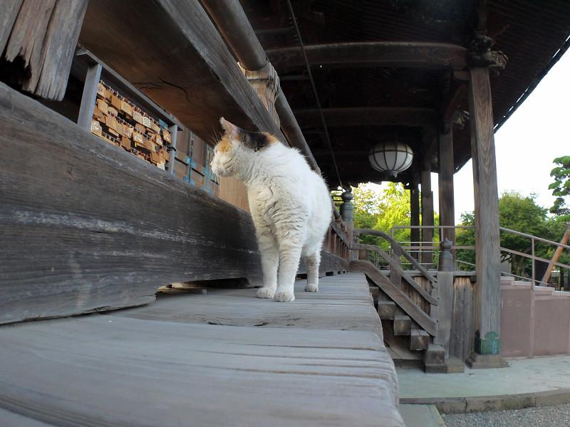 濡れ縁の外の白三毛猫1