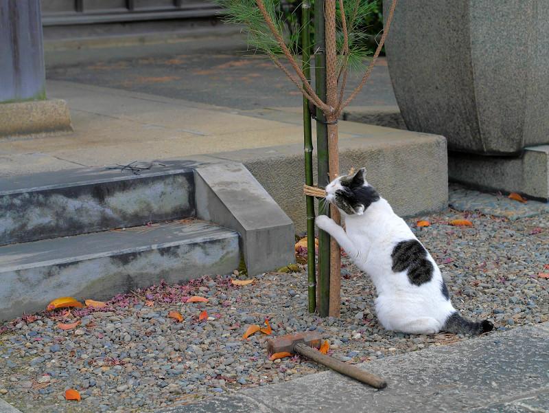 コスコスする白キジ猫2