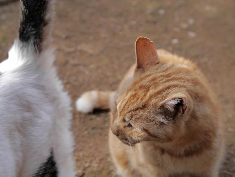 アメショー風の猫2