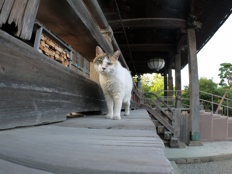 濡れ縁の外の白三毛猫2