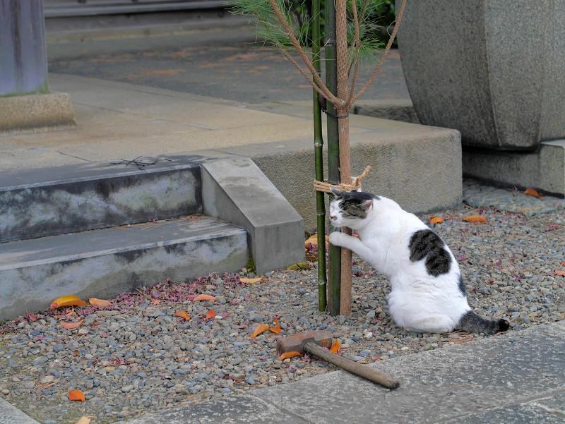 コスコスする白キジ猫3