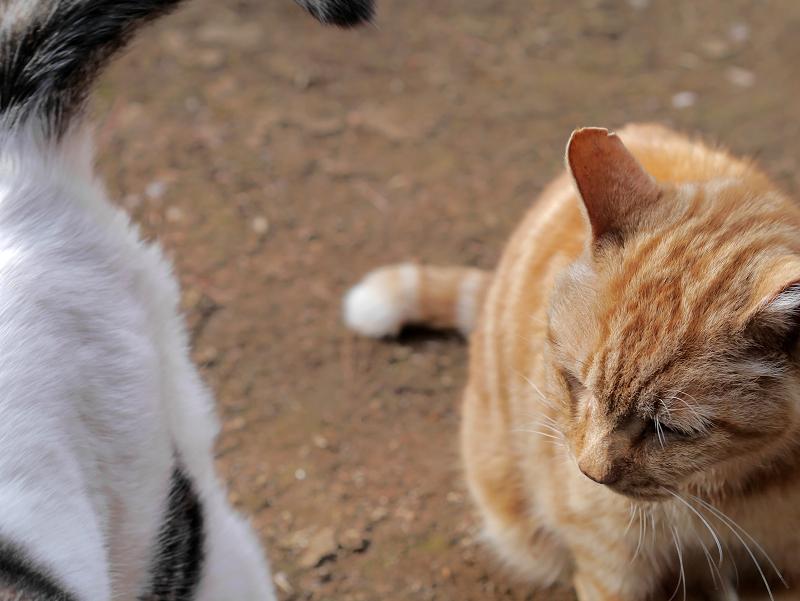 アメショー風の猫3