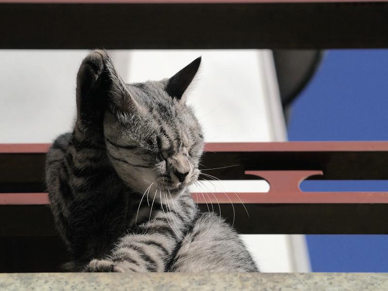 右手を舐めるサバトラ猫1