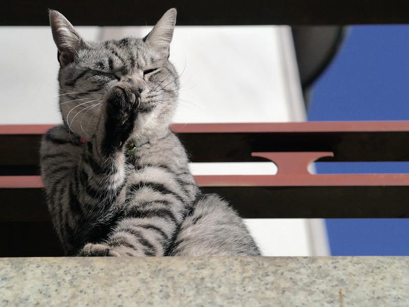 右手を舐めるサバトラ猫2
