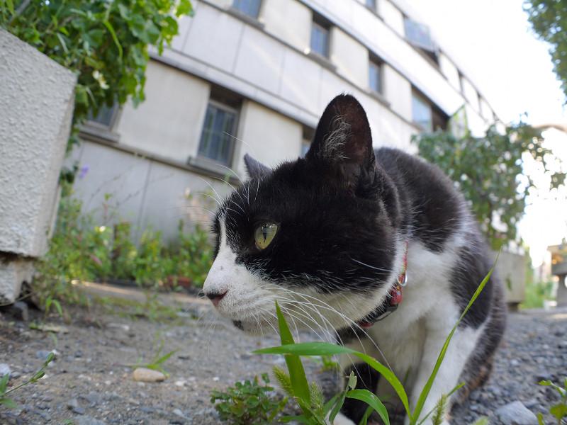 葉っぱを食べる黒白猫4