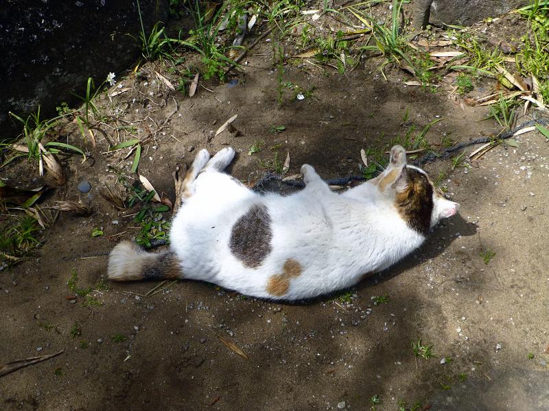 地面で転がる白三毛猫1