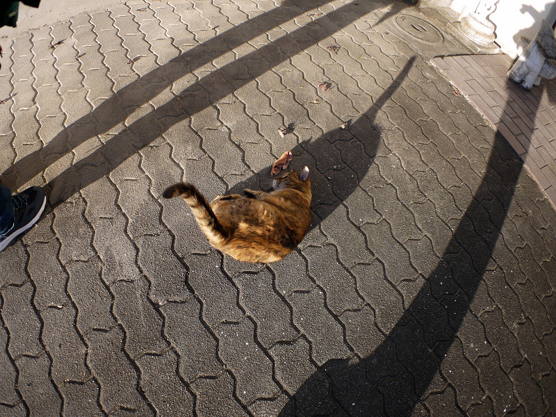 長い影と転がるサビ柄猫1