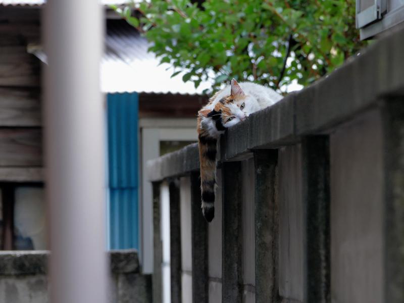 ブロック塀でだらけてた三毛猫1