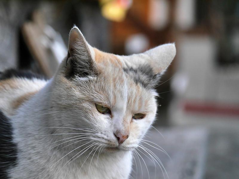 瞑想風の薄い柄の三毛猫