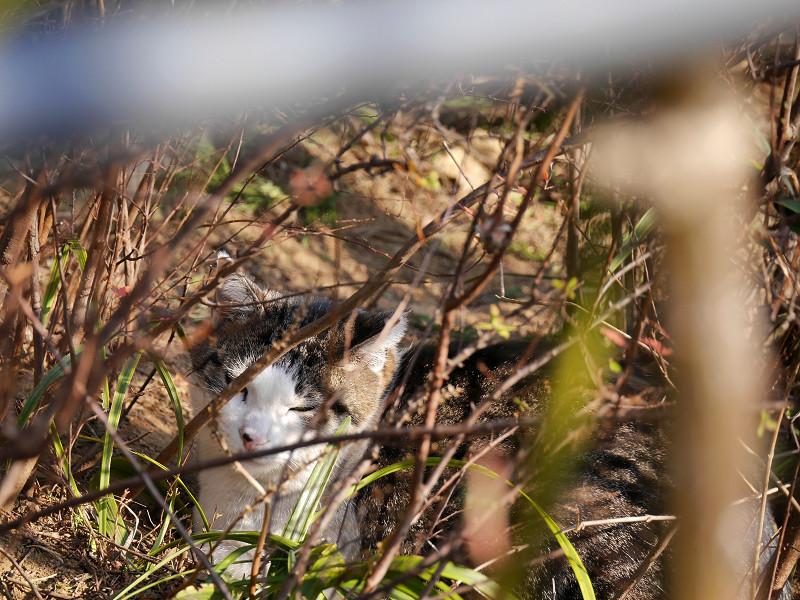 植え込みでまどろむキジ白猫1