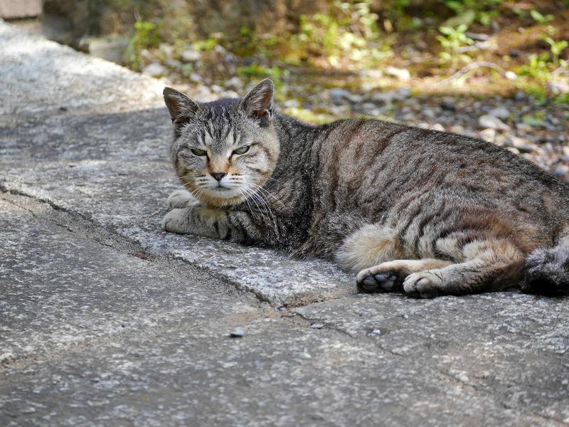 無表情なキジトラ猫1