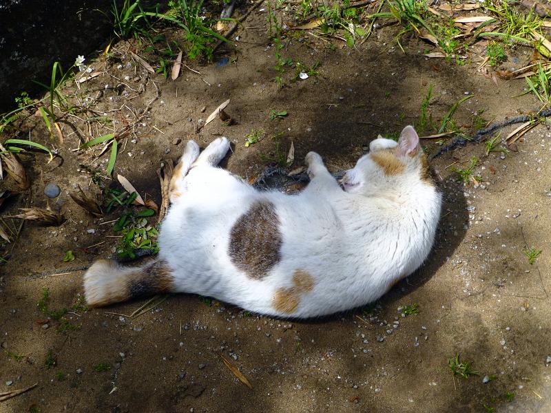 地面で転がる白三毛猫2