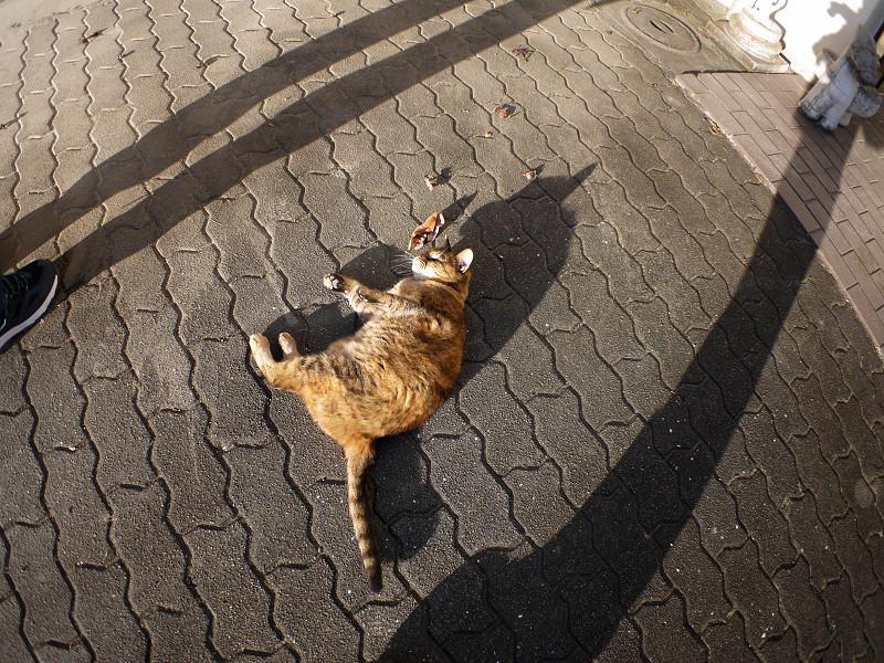 長い影と転がるサビ柄猫2