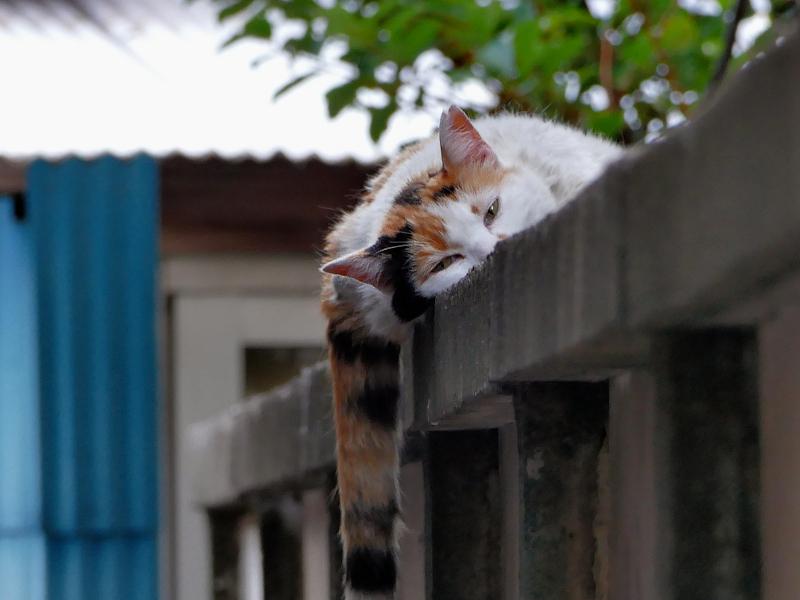 ブロック塀でだらけてた三毛猫2