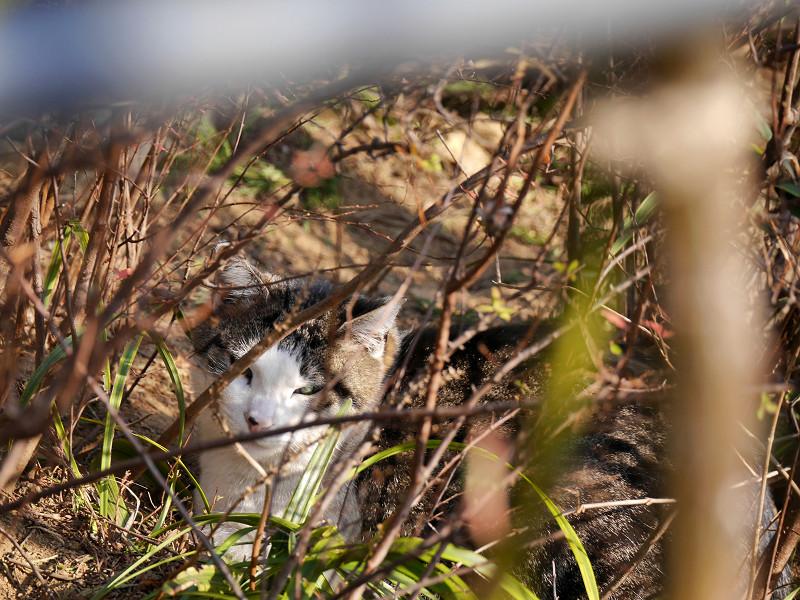 植え込みでまどろむキジ白猫2
