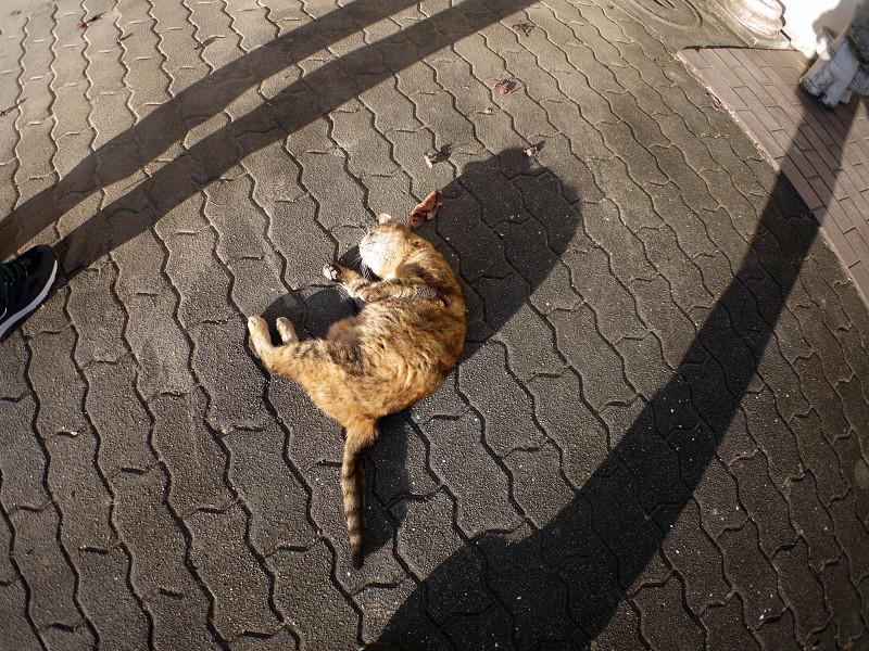 長い影と転がるサビ柄猫3