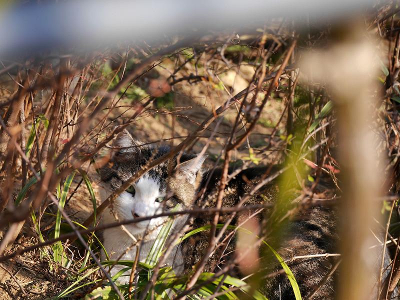 植え込みでまどろむキジ白猫3