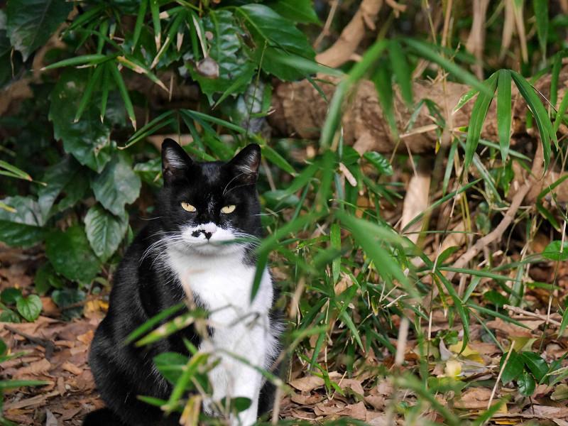 雑木林から睨んでる黒白猫1