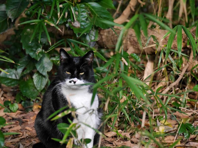雑木林から睨んでる黒白猫2