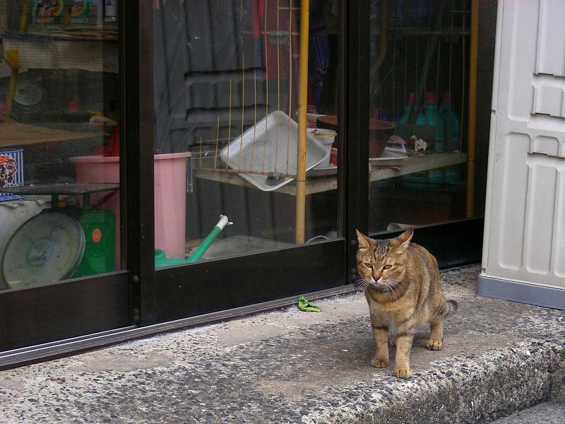 お店前のサビ柄猫1