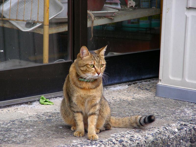 お店前のサビ柄猫2