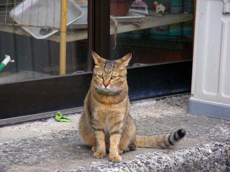 お店前のサビ柄猫3
