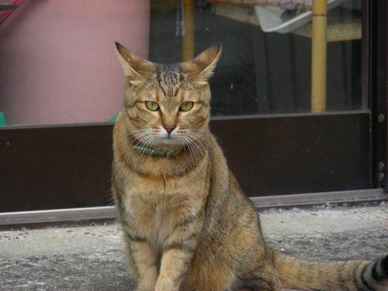 お店前のサビ柄猫4