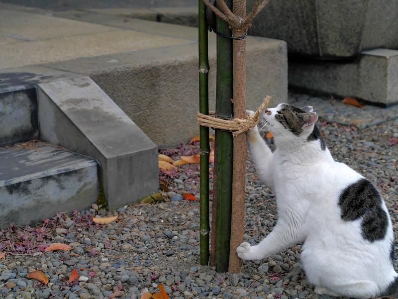 結び目と白キジ猫1