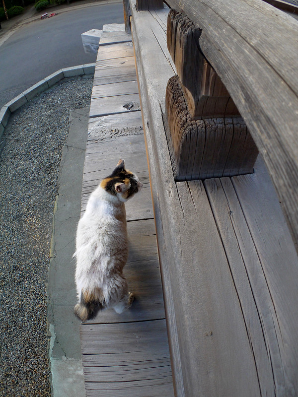 濡れ縁の縁の白三毛猫1