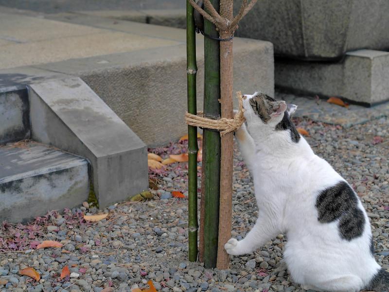 結び目と白キジ猫2