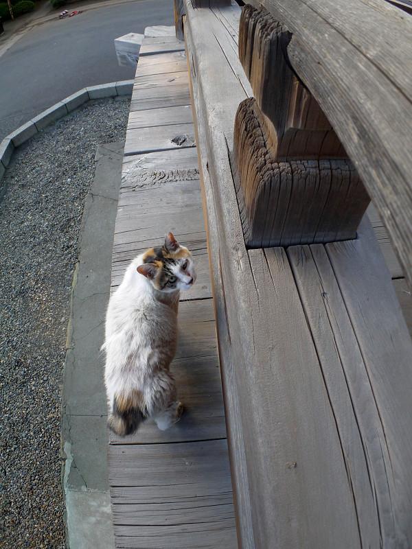 濡れ縁の縁の白三毛猫2