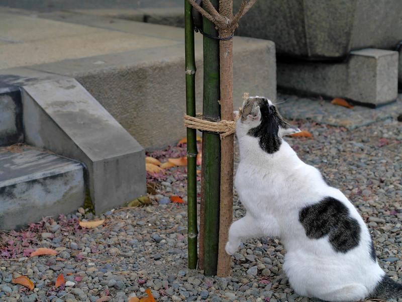 結び目と白キジ猫3