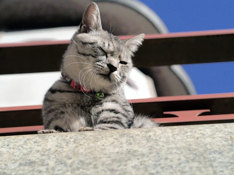 胸を舐めるサバトラ猫1