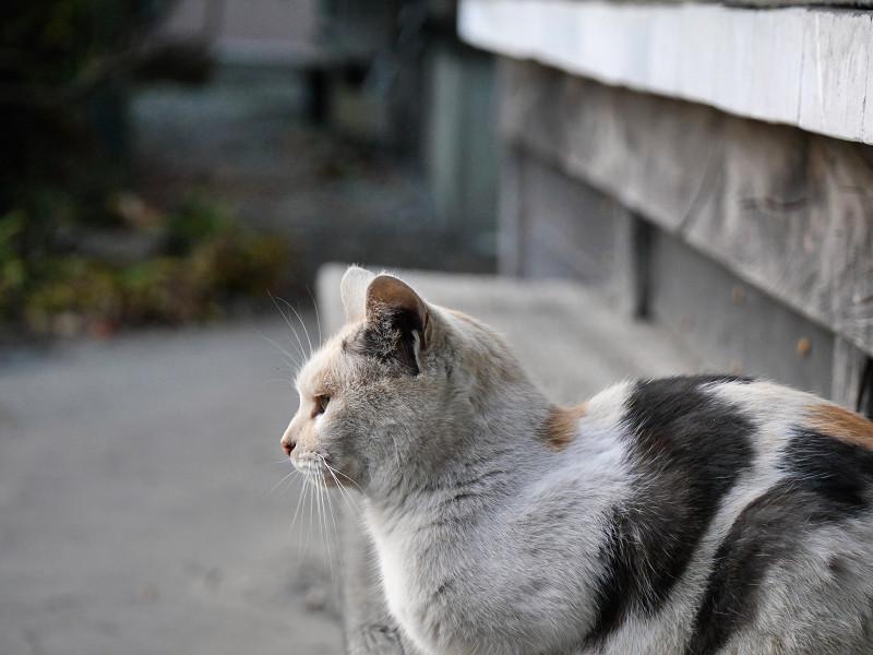 薄い柄の三毛猫の横顔1