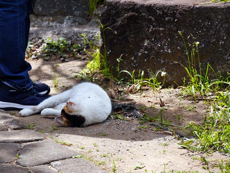 転がり続ける白三毛猫1