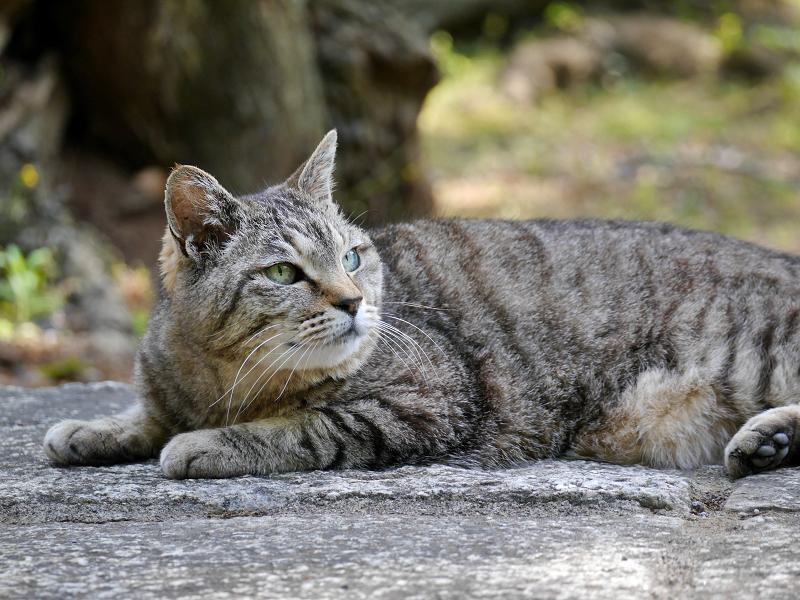 まだ無表情のキジトラ猫1