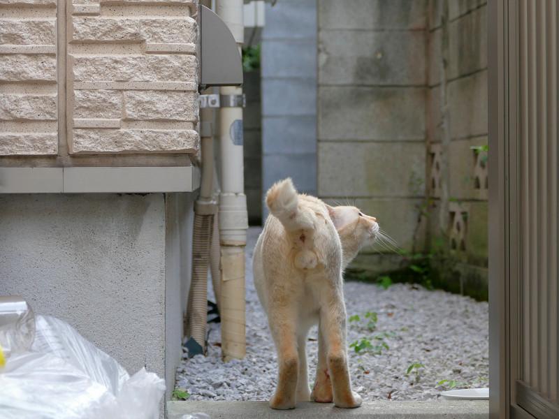 大きな玉の白系猫2